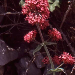 Photographie n°1066748 du taxon Centranthus ruber (L.) DC. [1805]