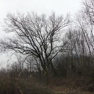Photographie n°1066998 du taxon Quercus robur L. [1753]
