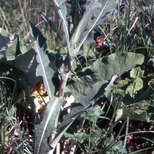 Sonchus arvensis L. subsp. arvensis (Laiteron des champs)