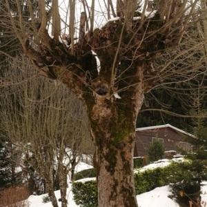 Photographie n°1070234 du taxon Acer pseudoplatanus L.