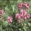 Liliane Roubaudi - Pedicularis fasciculata subsp. cenisia (Gaudin) Bonnier & Layens [1894]