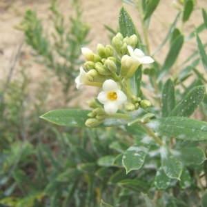 Photographie n°1072424 du taxon Daphne gnidium L. [1753]