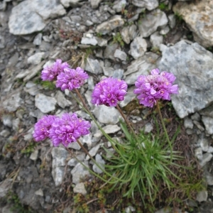 - Armeria alpina Willd. [1809]