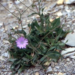Lactuca quercina L. (Laitue à feuilles de chêne)