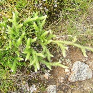 Photographie n°1072758 du taxon Lycopodium clavatum L. [1753]