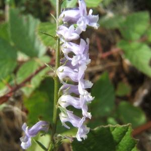 - Anarrhinum bellidifolium (L.) Willd.