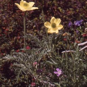 Photographie n°1073359 du taxon Pulsatilla alpina subsp. apiifolia (Scop.) Nyman [1878]