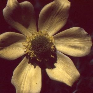 Photographie n°1073361 du taxon Pulsatilla alpina subsp. apiifolia (Scop.) Nyman [1878]