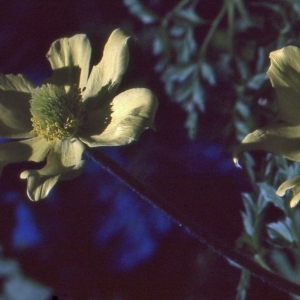 Photographie n°1073362 du taxon Pulsatilla alpina subsp. apiifolia (Scop.) Nyman [1878]