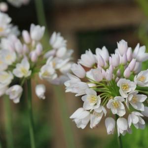 Photographie n°1073558 du taxon Allium L. [1753]