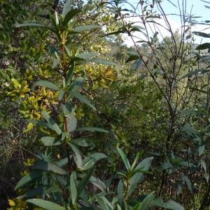 - Cistus ladanifer subsp. ladanifer