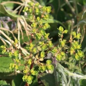 Photographie n°1074943 du taxon Euphorbia peplus L. [1753]