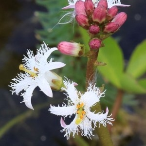 Menyanthes trifoliata L. (Ményanthe trifolié)