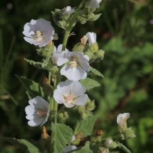 Photographie n°1075146 du taxon Althaea officinalis L. [1753]