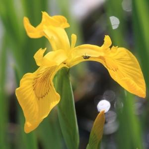 Photographie n°1075148 du taxon Iris pseudacorus L. [1753]
