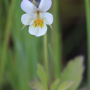 Photographie n°1075650 du taxon Viola arvensis Murray [1770]