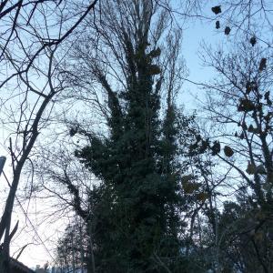 Photographie n°1075686 du taxon Populus nigra L.