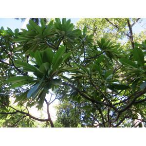 Plumeria rubra L. (Frangipanier blanc)
