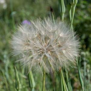 - Tragopogon dubius Scop. [1772]