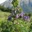 Dany ROUSSEL - Aconitum variegatum subsp. pyrenaicum Vivant [1981]
