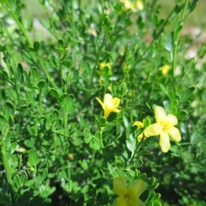 Photographie n°1078388 du taxon Jasminum fruticans L. [1753]