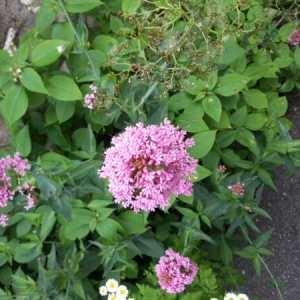 Photographie n°1082148 du taxon Centranthe lilas-d'Espagne
