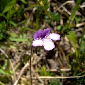 Pinguicula vulgaris L. (Grassette commune)