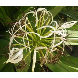 Crinum asiaticum L. (Poison bulb)