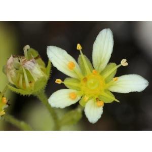 Saxifraga x patens Gaudin (Saxifrage)