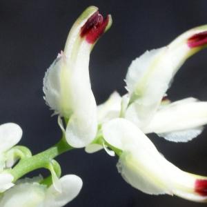 Fumaria capreolata L. (Fumeterre blanche)