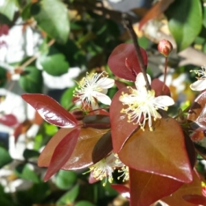 Eugenia uniflora L. (Cereza de Cayena)