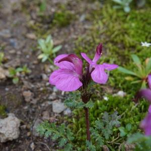 Photographie n°1089174 du taxon Pedicularis L. [1753]