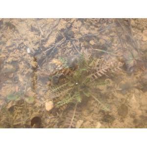 Sisymbrella aspera (L.) Spach subsp. aspera (Cresson rude)