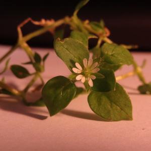 Photographie n°1094727 du taxon Stellaria media (L.) Vill. [1789]