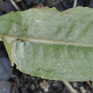 Photographie n°1096373 du taxon Rumex acetosa L. [1753]