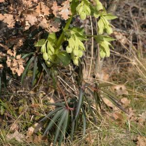 Photographie n°1097780 du taxon Helleborus foetidus L. [1753]