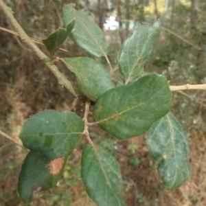 Photographie n°1097875 du taxon Quercus suber L. [1753]
