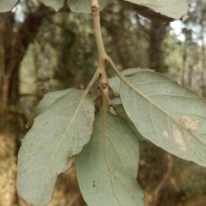 Photographie n°1097876 du taxon Quercus suber L. [1753]