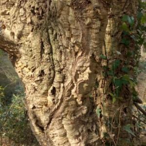 Photographie n°1097877 du taxon Quercus suber L. [1753]