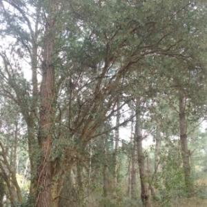 Photographie n°1097878 du taxon Quercus suber L. [1753]