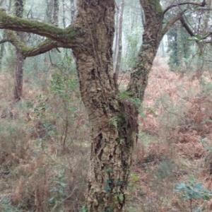 Photographie n°1097883 du taxon Quercus suber L. [1753]