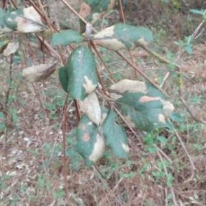Photographie n°1097884 du taxon Quercus suber L. [1753]
