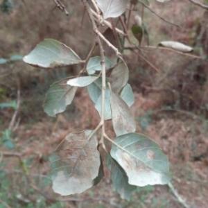 Photographie n°1097885 du taxon Quercus suber L. [1753]