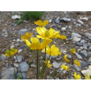 Ranunculus aduncus Gren. (Renoncule à carpelles crochus)