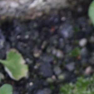 Photographie n°1100396 du taxon Stellaire intermédiaire