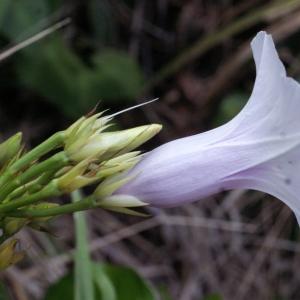 Photographie n°1100508 du taxon Ipomoea carnea Jacq.
