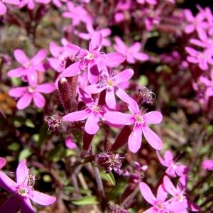 Photographie n°1102323 du taxon Saponaria ocymoides L.