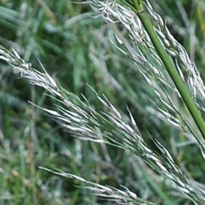 Oloptum miliaceum (L.) Röser & Hamasha [2012] (Faux Millet)