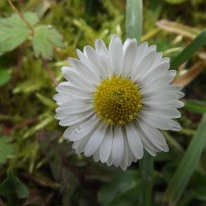 Photographie n°1106893 du taxon Bellis perennis L.