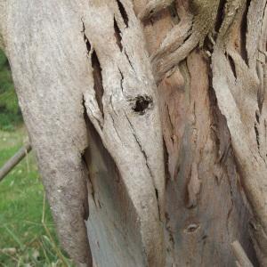 Photographie n°1106908 du taxon Eucalyptus gunnii Hook.f.